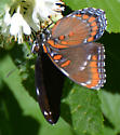 butterfly on clethra - Limenitis arthemis
