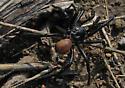 California Trapdoor Spider (November) - Bothriocyrtum californicum - male