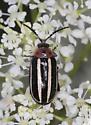 Unidentified beetle  - Disonycha glabrata