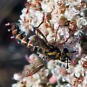 Mydas fly? - Pseudonomoneura hirta - female