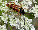Banded Flower Longhorn - Typocerus velutinus