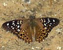 Butterfly - Asterocampa celtis - male