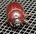 purple beetle - Tomarus subtropicus