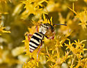 Bee 483A 1816 & 1820 - Triepeolus - female
