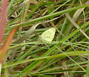 Sulphur butterfly - Pale green? - Pieris rapae