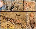 Blue-winged Grasshopper - Trimerotropis cyaneipennis - male