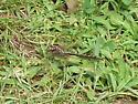 Unknown Clubtail - Phanogomphus lividus