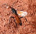 Wasp in Zion National Park - Hemipepsis
