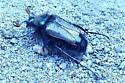 Bumble Bee Scarab Beetle - Lichnanthe ursina