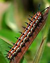 Variegated Fritillary Caterpillar - Euptoieta claudia