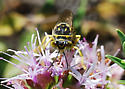 Smiley face wasp on coyote mint - Steniolia
