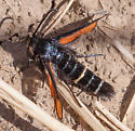 Clearwing Moth - Euhagena nebraskae