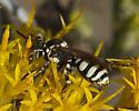 Black and White on Rabbitbrush - Nomada