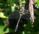 DragonflyIllinoisRiverCruiser_Macromia illinoiensis06272012_EM_BG - Macromia - male