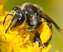 dark and fuzzy bee - Andrena