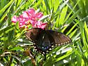 First Swallowtail Butterfly of the Season - Papilio glaucus