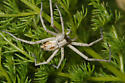 Spider Antelope Island - Rhysodromus histrio