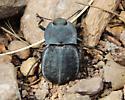 What species is this? - Stenomorpha opaca
