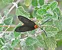 Black and orange moth - Neoilliberis fusca