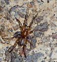 Spider running on the ground - Drassyllus