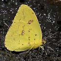 ID for a Sulfur #2? - Phoebis sennae - female