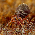 Collembola - Neosminthurus richardsi