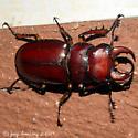 Reddish-brown Stag Beetle - Lucanus capreolus - male