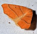 possible? Tetracis jubararia - Destutia excelsa - male
