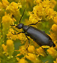 unknown black beetle - Epicauta pensylvanica