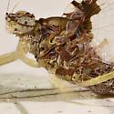 Small Mayfly - Callibaetis ferrugineus