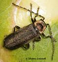 Beetle on Peony Bud - Atalantycha dentigera