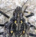 Rough Stink Bug - Brochymena myops