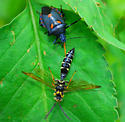 stink bug? - Euthyrhynchus floridanus