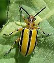 Lema trivittata - Three-lined Lema Beetle (?) - Lema trivittata