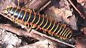 Centipede - Apheloria virginiensis