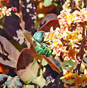 Agapostemon sweat bee species female maybe??