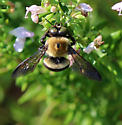 Brown Belted Bumblebee with odd eyes?  - Xylocopa virginica