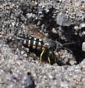 Wasp - Bicyrtes quadrifasciatus - female