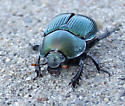 Which scarab is this green beetle? - Geotrupes splendidus