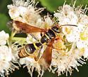 wasp - Saygorytes phaleratus - female
