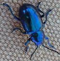 Metallic blue beetle - Chrysochus cobaltinus