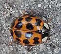 Asian Lady Beetle - Harmonia axyridis