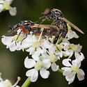 Mating But Look Nothing Alike - Dilophus - male - female
