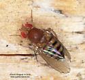 Drosophilinae ? - Drosophila