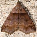 Ambiguous Moth - Hodges#8393 - Lascoria ambigualis - female