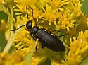 Beetle 457A 9672 & 9674 - Epicauta