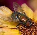 Beautiful Blow Fly - Lucilia sericata - male