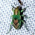 Unknown green weevil - Coniatus splendidulus
