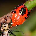 Florida Predatory Stinkbug? - Conquistator mucronatus