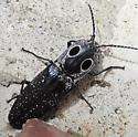 Eyed or Blind Click Beetle? - Alaus oculatus